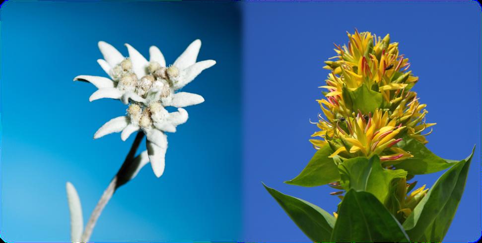 Edelweiss Gentiane